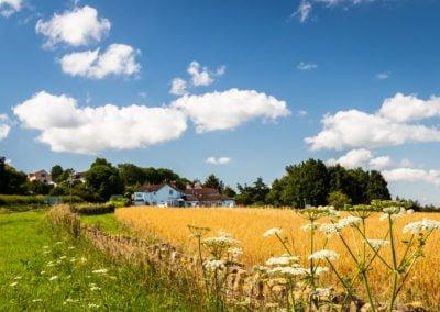 White Horse across fields sunny crop sky