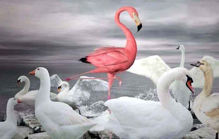 stand out from the crowd - flamingo amongst white swans